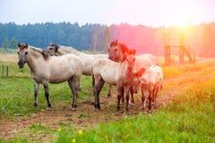 Manada de caballos salvajes Fotografía de archivo libre de regalías
