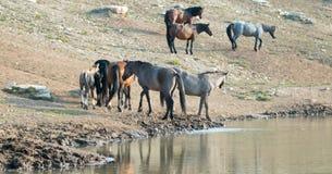 Manada de caballos salvajes con el potro en el waterhole en la gama del caballo salvaje de las montañas de Pryor en Montana los E Foto de archivo