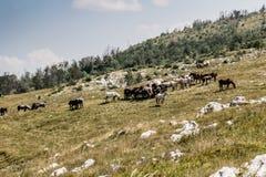 Manada de caballos salvajes en occidental hermoso como paisaje de la montaña Imagenes de archivo