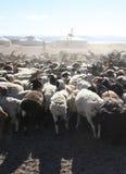 Manada de cabras fotos de archivo libres de regalías