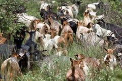 Manada de cabras fotos de archivo