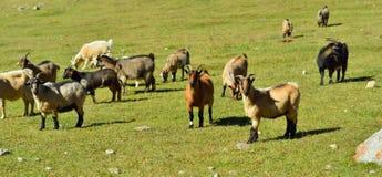 Manada de cabras Imagen de archivo libre de regalías