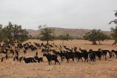 Manada de cabras foto de archivo libre de regalías