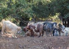 Manada de cabras Imágenes de archivo libres de regalías