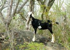 Manada de cabras en el camino Fotos de archivo