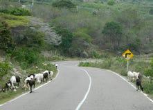 Manada de cabras en el camino Foto de archivo libre de regalías