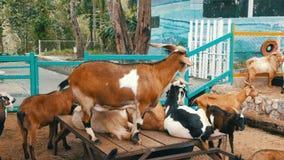 Manada de cabras en granja de la cabra almacen de metraje de vídeo