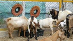 Manada de cabras en granja de la cabra metrajes