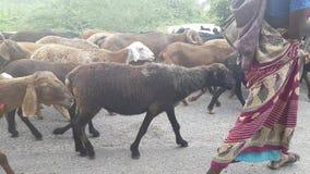 Manada de cabras en Karnataka la India almacen de metraje de vídeo