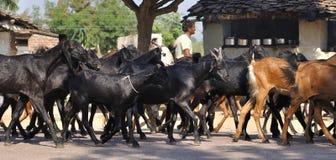 Manada de cabras en una aldea en la India Fotos de archivo