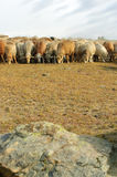 Manada de cabras y de ovejas Fotos de archivo