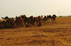 Manada de camellos en el desierto de Thar del indio Fotografía de archivo libre de regalías