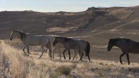 Manada de caminar de los caballos salvajes almacen de video