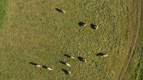 Manada de Catlle que pasta en el pasto de la montaña, cantidad aérea almacen de metraje de vídeo