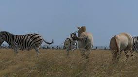 Manada de cebras y de los caballos de Dzungarian en un césped en el slo-MES almacen de video