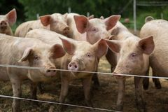 Manada de cerdos en la granja de la cría del cerdo foto de archivo