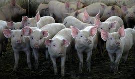 Resultado de imagen de manada de cerdos