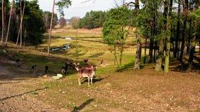 Manada de ciervos en el bosque de la primavera almacen de metraje de vídeo