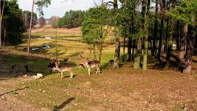Manada de ciervos en el bosque en primavera almacen de video