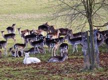 Manada de ciervos en un parque inglés Imágenes de archivo libres de regalías