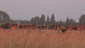 Manada de ciervos hermosa de huevas en recinto cerrado en el tiempo de verano 4K almacen de video