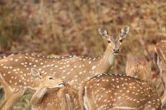 Manada de ciervos manchada que pasta Imagen de archivo libre de regalías