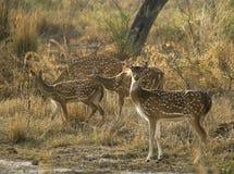 Manada de ciervos manchados indios imagenes de archivo