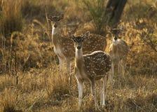 Manada de ciervos manchados indios Imagen de archivo libre de regalías
