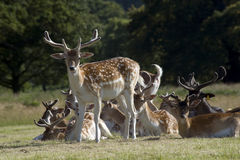 Manada de ciervos rojos Fotos de archivo libres de regalías