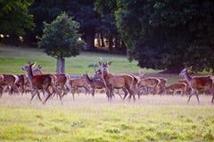 Manada de ciervos rojos en caída del otoño Fotografía de archivo