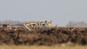 Manada de ciervos salvaje de huevas en un campo, tiempo de primavera almacen de metraje de vídeo