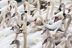 Manada de cisnes adultos y jovenes en el río en invierno Imagenes de archivo