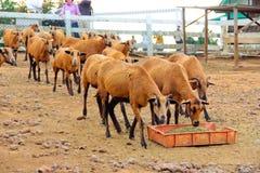 Manada de comer las ovejas de Barbado Blackbelly Imagen de archivo libre de regalías