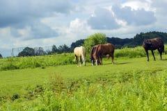 Manada de diversos caballos que pastan en campo verde Imágenes de archivo libres de regalías