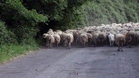 Manada de Dogs Following Sheep del pastor almacen de metraje de vídeo