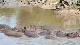Manada de dormir de los hipopótamos africanos Niza y de la reclinación en Muddy Brown Water Of Lake metrajes