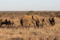 Manada de elefantes africanos Fotos de archivo libres de regalías