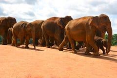 Manada de elefantes asiáticos salvajes Fotos de archivo libres de regalías