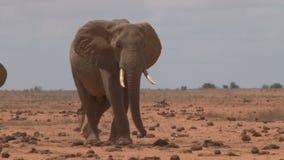 Manada de elefantes en Kenia metrajes