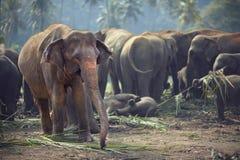 Manada de elefantes en las horas de comer Fotos de archivo