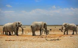 Manada de elefantes en los llanos de Etosha con un cielo nublado azul Fotos de archivo