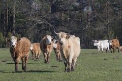 Manada de ganado Imagenes de archivo