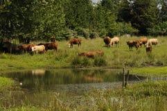 Manada de ganado adentro A.C., Canadá Imagen de archivo libre de regalías