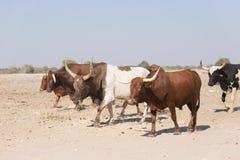 Manada de ganado que camina en el camino de tierra africano, vida rural Imagen de archivo libre de regalías