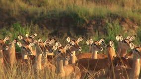 Manada de impalas en Kenia almacen de metraje de vídeo