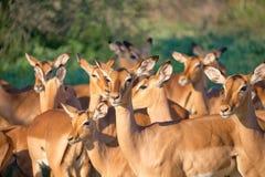 Manada de impalas imagen de archivo
