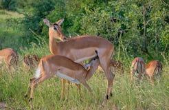Manada de impalas, perfil en líder fotografía de archivo
