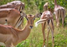 Manada de impalas, perfil en líder imagen de archivo