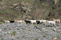 Manada de la cabra en las montañas de Altai imágenes de archivo libres de regalías