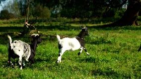 Manada de la cabra que corre en prado verde en la granja rural Pequeño ganado de la cría metrajes